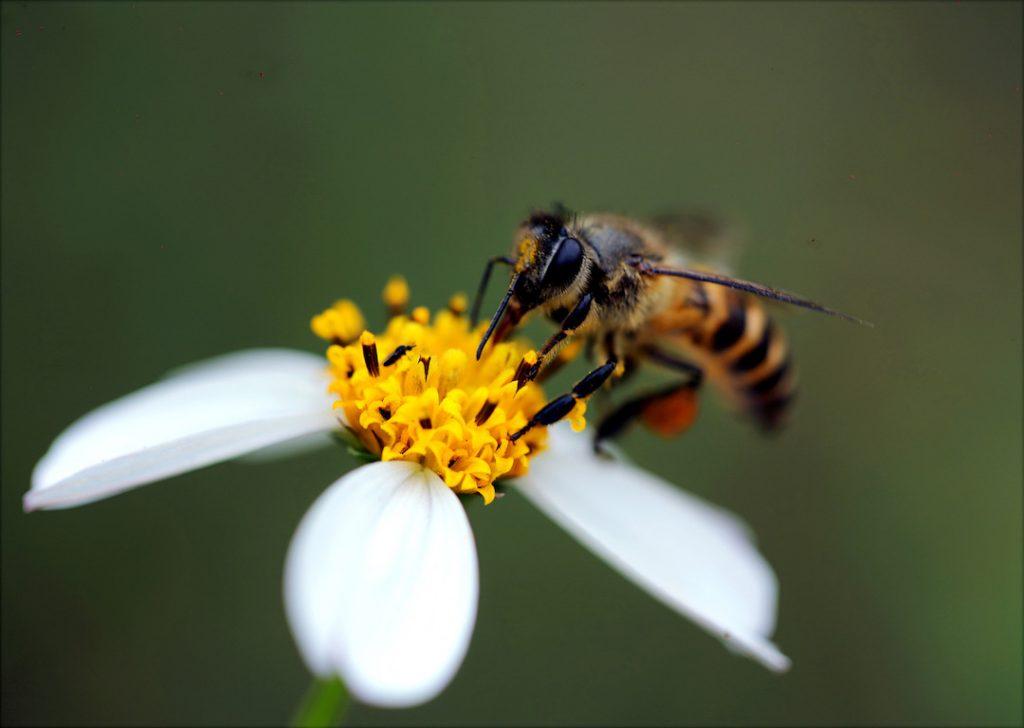 polen abeja